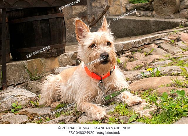 Young australian terrier dog closeup on rustic paved road
