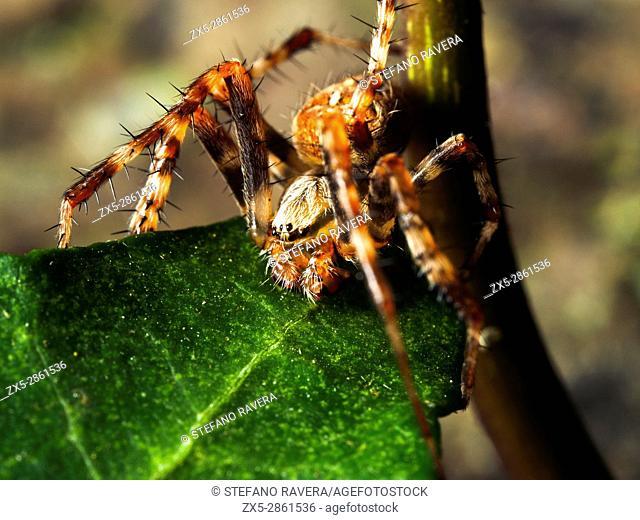 Garden Spider Araneus diadematus - London, England