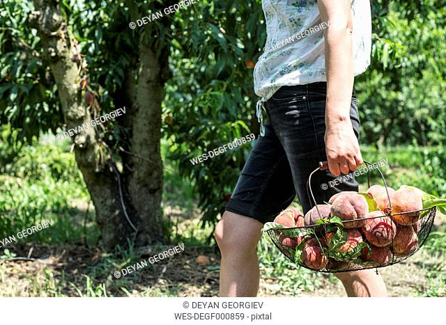 Woman carrying basket with peaches in orchard