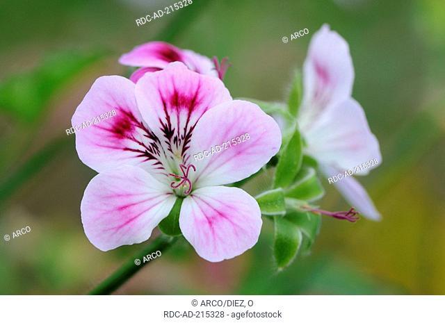 Geranium 'Kirstenbosch', Pelargonium citronellum