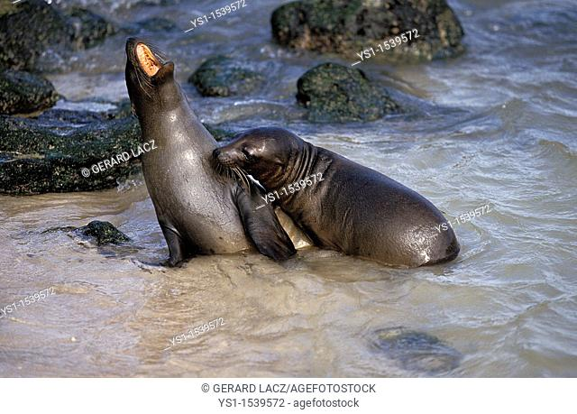Galapagos Fur Seal, arctocephalus galapagoensis, Adults standing on Beach