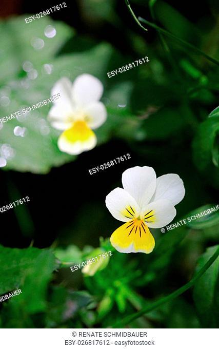 field pansy,flowers,viola arvensis