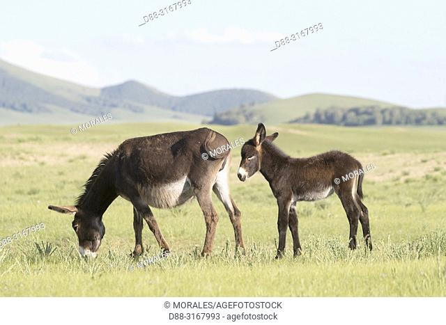 China, Inner Mongolia, Hebei Province, Zhangjiakou, Bashang Grassland, Donkey or ass (Equus africanus asinus), adult and young, Mother and baby