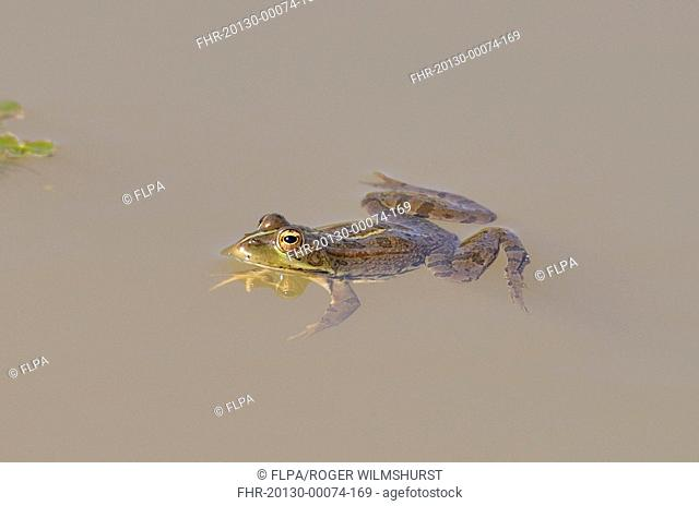Edible Frog Rana esculenta adult, in shallow pool, Monfrague, Extremadura, Spain, april