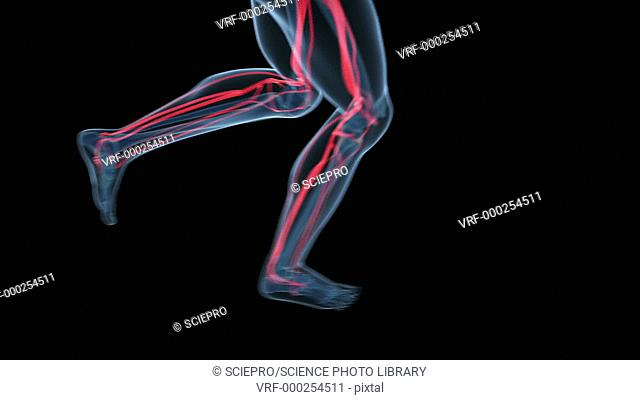 Animation of a jogging human figure showing the circulatory system. This is the network of arteries and veins that carry blood from the heart to the body...