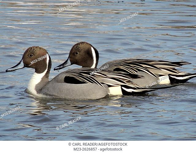 A pair of northern pintail ducks, Anas acuta, swim together for company, New Jersey, USA