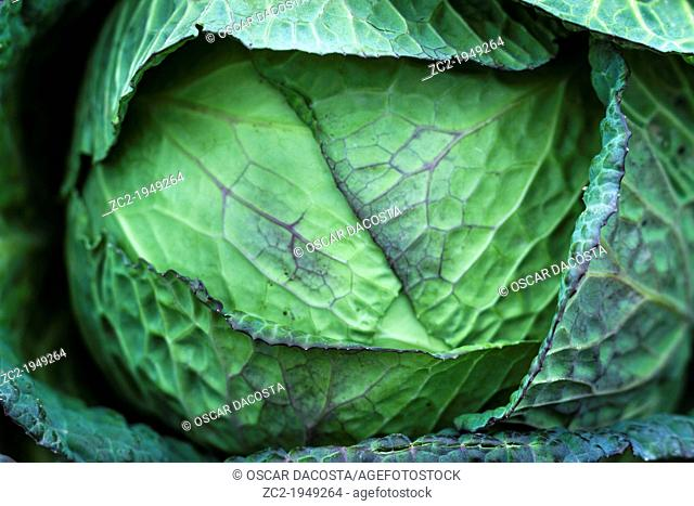 Detail of a cabbage