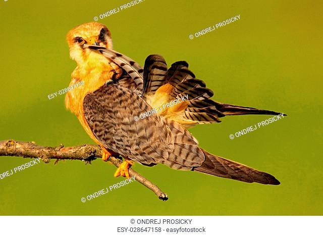 Red-footed Falcon, Falco vespertinus, bird sitting on branch