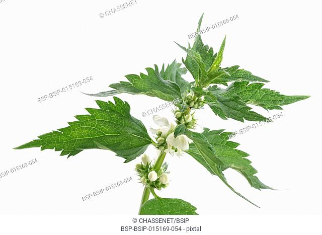 Blossoming nettle