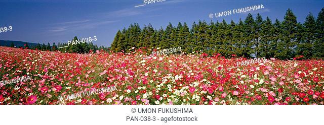 Field of Flowers, Ikoma, Miyazaki, Japan