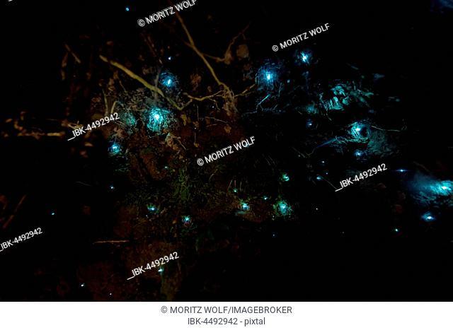 Bioluminescence, luminous Glowworm, maggot of fungus gnats (Arachnocampa luminosa) in a cave, endemic to New Zealand, Leith Valley, Dunedin, New Zealand