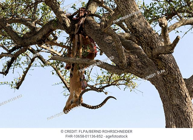 African Leopard (Panthera pardus pardus) kill, Impala (Aepyceros melampus) prey stored in tree branches, Maasai Mara National Reserve, Kenya, August