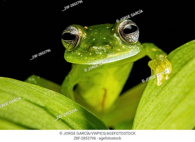Glass frog (Centrolene, Centrolenidae) in Biogeographic Chocó, Buenaventura, Colombia