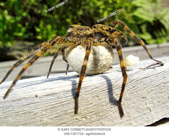A gigantic North American species of fishing spider that is protecting a ball of eggs underneath it