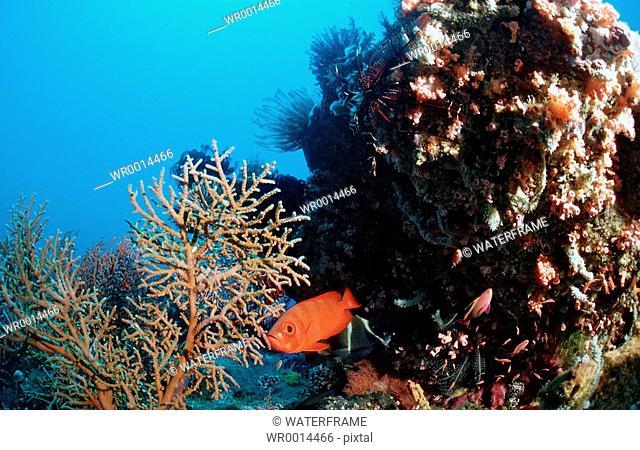 Coral Reef with Bigeye, Priacanthus hamrur, Komodo, Indio-Pacific, Indonesia