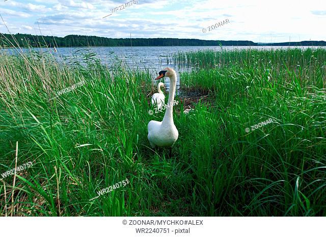 dissatisfied swan