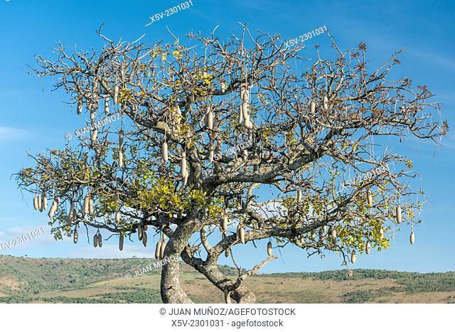 Kigelia africana. Tree sausages. Masai Mara NP