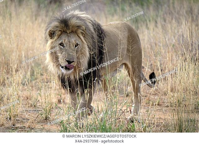 Full-grown male African lion (Panthera leo) standing in the grass, Africat Centre, Namibia