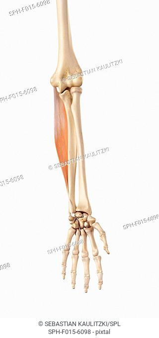 Muscles of the human arm, illustration