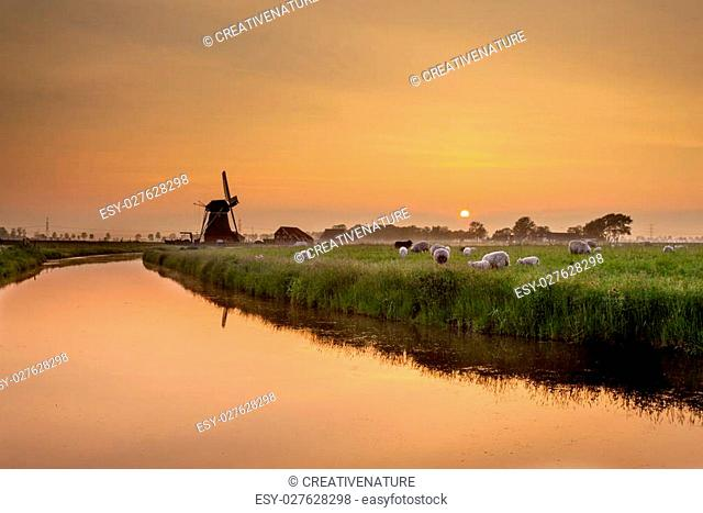 Dutch Landscape with Sheep and Old Windmill during Sunset