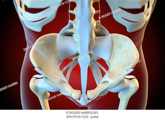 Ligaments of the human pelvis, illustration