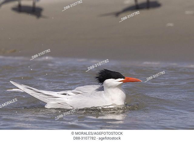 Central America, Mexico, Baja California Sur, Puerto San Carlos, Magdalena Bay (Madelaine Bay), . Royal tern (Thalasseus maximus), taking a bath