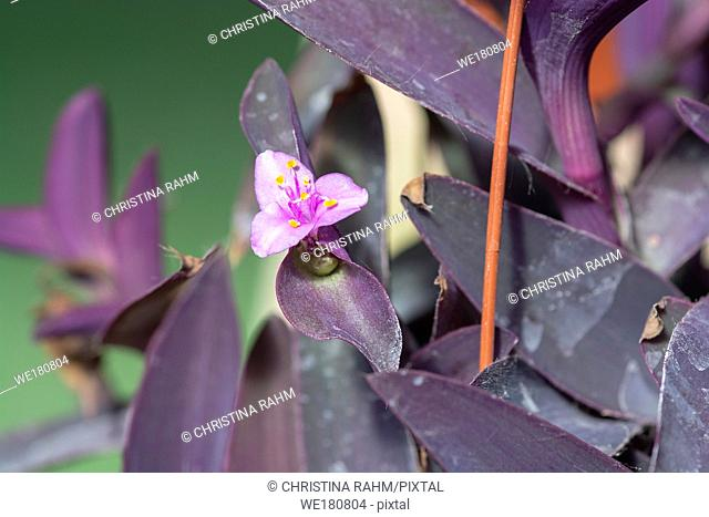 Purple tradescantia plant with pink little flower closeup macro photo. Other names are wandering jew or purple queen