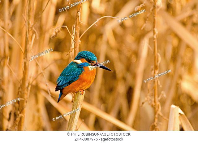 Kingfisher (Alcedo atthis) Kent (Loose Village, near Maidstone) UK, sitting among bullrushes / reed mace. January