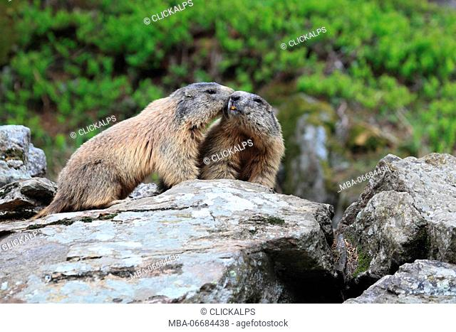 Marmots (Marmota marmota) playing together on a rock in Valmalenco, Sondrio, Italy