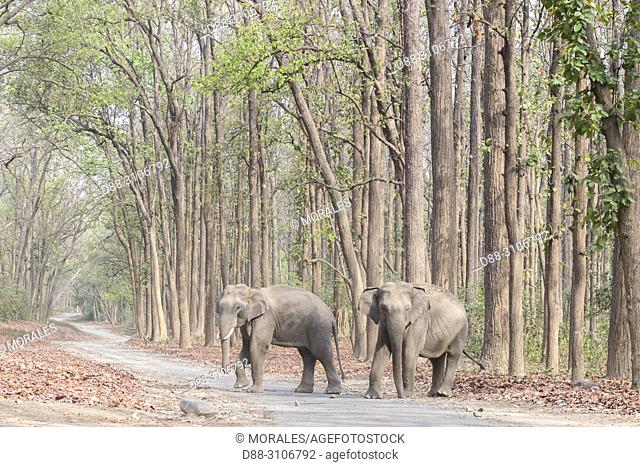 Asia, India, Uttarakhand, Jim Corbett National Park, crossing a forest walkway of sal or sâla (Shorea robusta)
