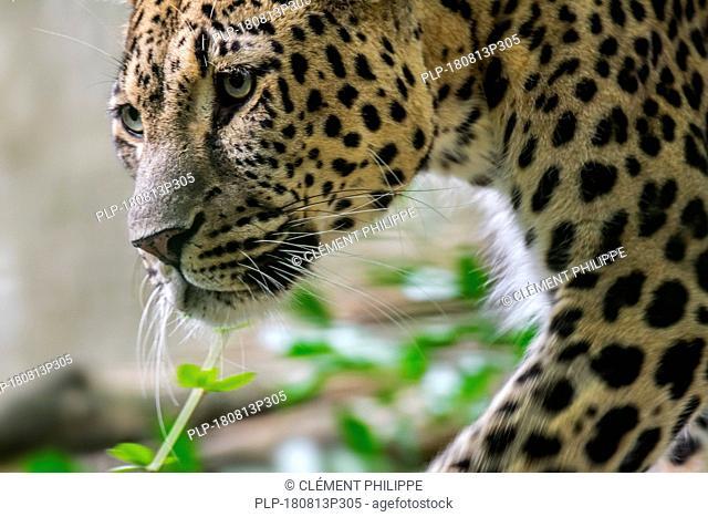 Close up portrait of Persian leopard (Panthera pardus tulliana / Panthera pardus ciscaucasica / Panthera pardus saxicolor)