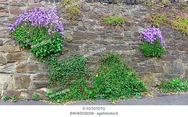 Poscharsky's bellflower, Serbian bellflower (Campanula poscharskyana), growing on an old wall together with Ivy-leaved toadflax, Germany
