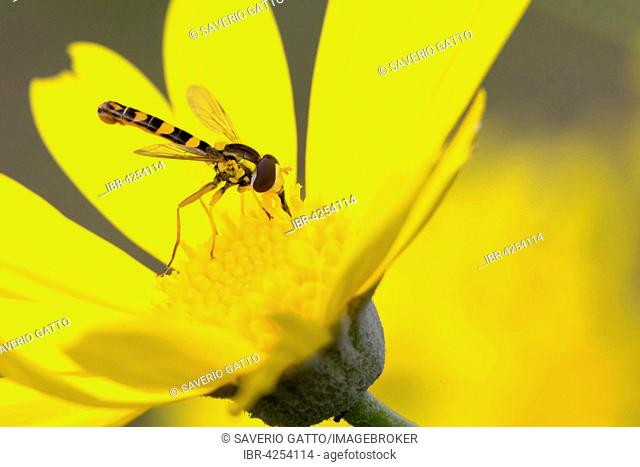 Long Hoverfly, also Hover Fly (Sphaerophoria scripta), adult perched on a yellow flower, Campania, Italy