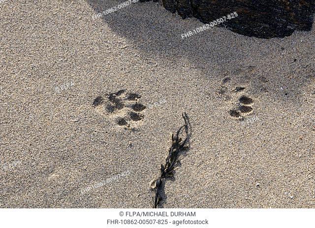 European Otter Lutra lutra footprints on sandy beach, Coll, Inner Hebrides, Scotland, winter