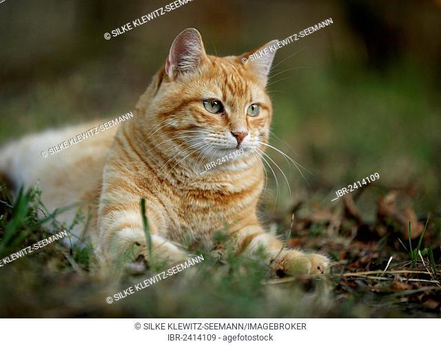 Red tabby cat lying in a meadow