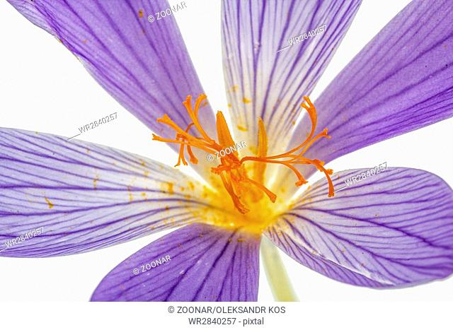 Pistil and stamens of the flower Colchicum macro, isolated on white background
