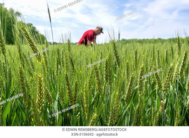 Wheat (Triticum) surrounds a farmer in Maryland