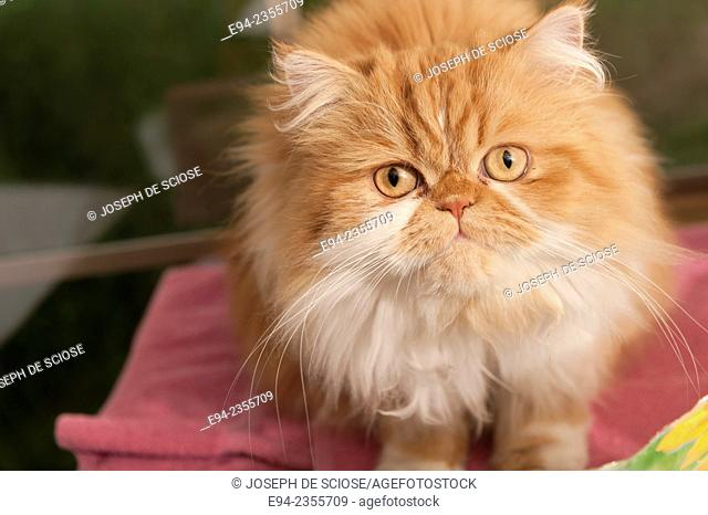 A pet Persian cat looking at the camera
