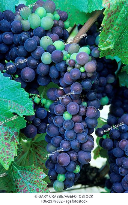 Wine grapes on the vines at Byington Vineyard & Winery, Santa Cruz Mountains, California