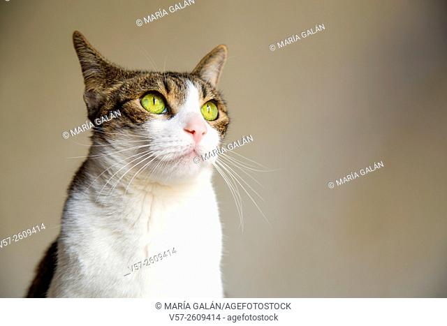 Portrait of tabby and white cat looking up