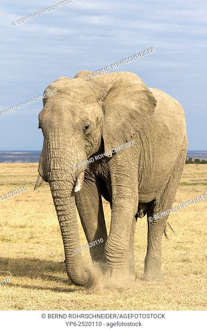 African Elephant (Loxodonta africana) foraging in dry savannah, Sweetwaters Game Reserve, Kenya