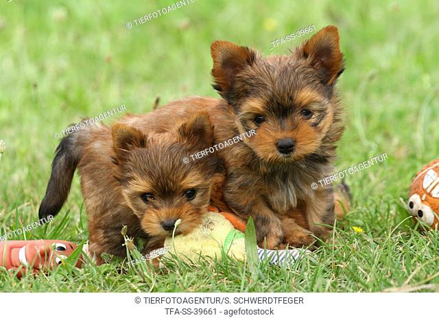 2 Yorkshire Terrier Puppies