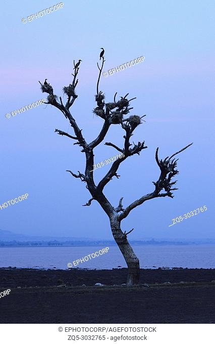 Birds nest on a dead tree near Veer dam, Maharashtra, India