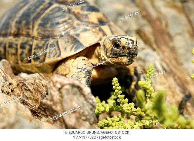 Copy of Tortuga Mora Testudo graeca in the vicinity of Cabo Cope, a shelter of this tortoise, which is protected by being on the list of endangered species to...