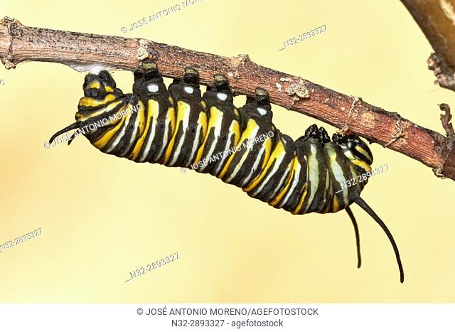 Caterpillar of the Monarch butterfly, Changing from caterpillar to chrysalis, Asclepia Curassavica, Monarch butterfly (Danaus plexippus), Chrysallis