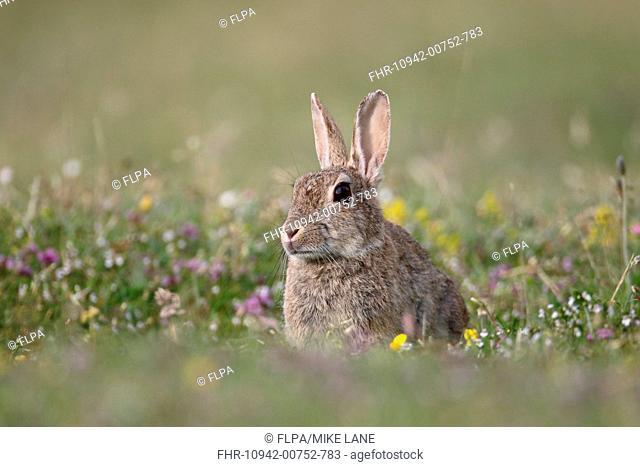 European Rabbit (Oryctolagus cuniculus) adult, sitting amongst wildflowers, Isle of Mull, Inner Hebrides, Scotland, July