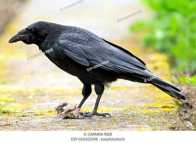 raven eats a mouse / raven eats a mouse
