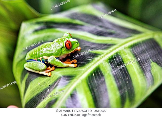 Red eyed tree frog Agalychnis callidryas perched on a tree leaf  Tortuguero National park, Limon province, Costa Rica