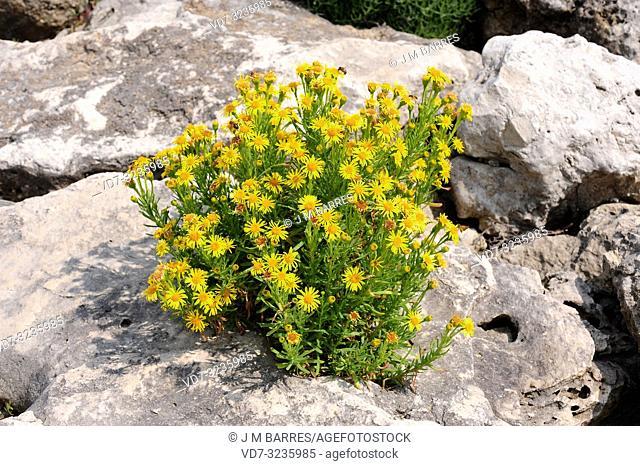 Golden samphire (Inula crithmoides or Limbarda crithmoides) is a perennial herb native to coasts of Mediterranean Basin and atlantic European coasts from...