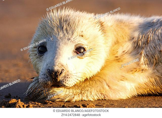Seal grey (Halichoerus grypus) Donna Nook National Nature Reserve, Lincolnshile, England, U. K. , Europe